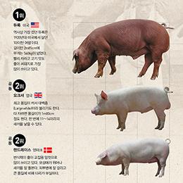 돼지, 누가누가 더 클까?