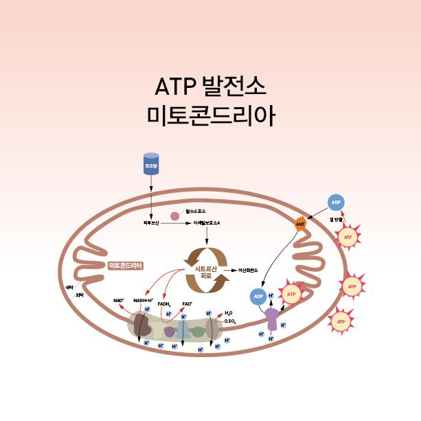 ATP 발전소 미토콘드리아