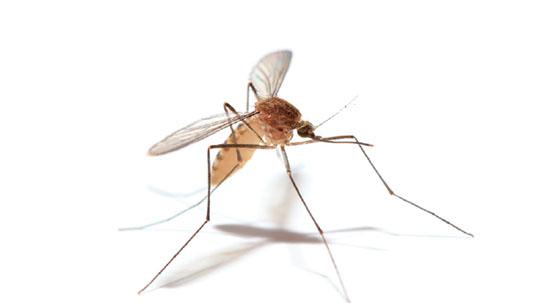 한밤중 모기의 습격, 불임수컷으로 완전정복