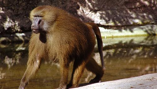 [과학뉴스] 개코원숭이도 모음을 말할 줄 안다?