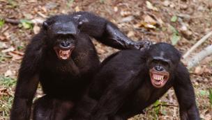 [과학뉴스] 왜 낯선 침팬지 냄새가 더 좋지?