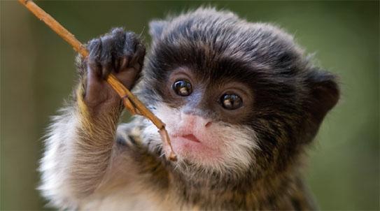 [Origin] 족보 꼬인 원숭이의 영리한 공동육아