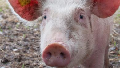 [과학뉴스] 면역거부반응 바이러스 비활성시킨 돼지 개발