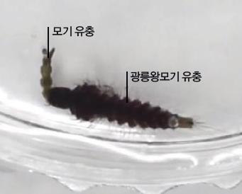 [과학뉴스] 전염병 모기, '왕' 모기로 잡는다?