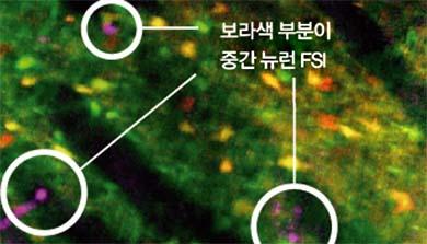 [과학뉴스] 습관 좌우하는 중간뉴런 첫 확인