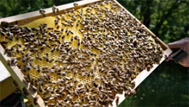[과학뉴스] 전세계 꿀 75%에서 살충제 성분 검출