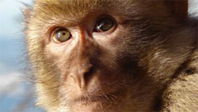 [과학뉴스] 사람 얼굴 알아보는 똑똑한 원숭이