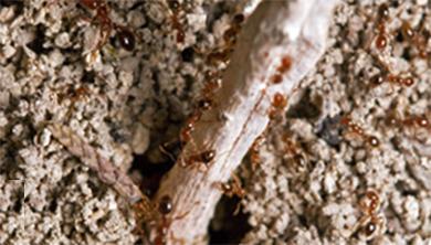 Part 3. 외래 붉은불개미의 습격, 과연 끝났을까?