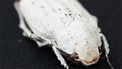 [과학뉴스] 흰 딱정벌레 모방한 친환경 흰색 코팅제