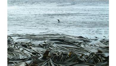 [과학뉴스] 2만km 여행한 남극산 다시마