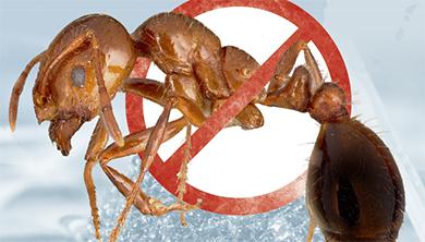 [Issue] 한반도 습격 시작한 남미붉은독개미