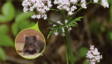 [식물 속 동물 찾기] 뿌리에서 쥐 오줌 냄새가 나는 쥐오줌풀