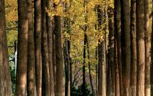 [Culture] 가을 불청객 은행나무를 위한 변명