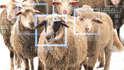 젖소, 돼지, 양, 연어…AI는 동물 얼굴도 인식할까?