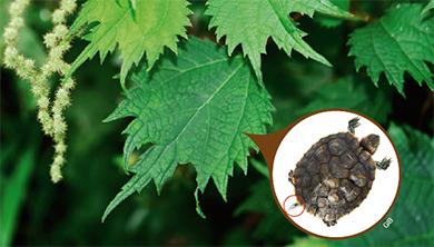[식물 속 동물 찾기] 이파리가 거북의 꼬리를 닮았네! 거북꼬리