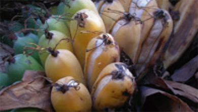 [과학뉴스] 야생 바나나, 멸종위기에 빠지다!
