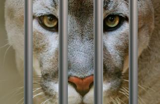[시사과학 뉴스] 동물원 퓨마 호롱이는 왜 죽었을까?