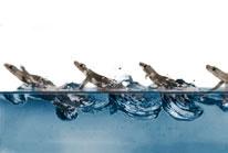 [과학뉴스] 도마뱀붙이가 물 위를 뛰는 비밀