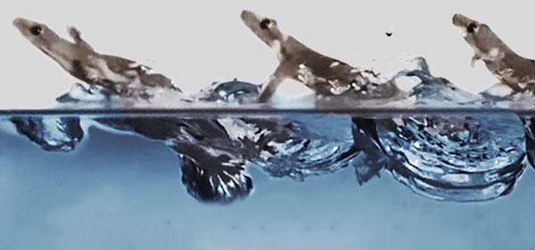 [과학뉴스] 도마뱀붙이는 물 위에서도 달릴 수 있다?!