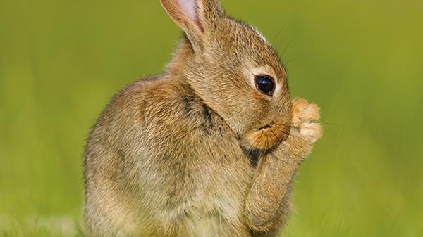 [실전! 반려동물] 턱을 비비는 토끼, 간지러운 게 아니라고?