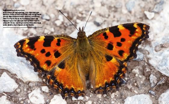 [화보] 헝가리에서 날아온 유럽 나비