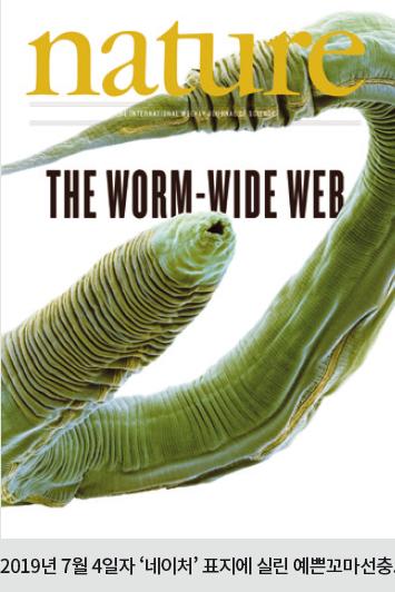 [과학뉴스] 예쁜꼬마선충 암컷과 수컷, 신경망 지도 각각 완성