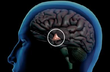 [과학뉴스] 비만 치료 위해 뇌 시상하부 정조준