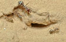 [과학뉴스] 세계에서 가장 빠른 '개미계의 우사인 볼트'
