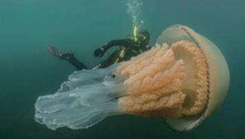 [과학뉴스] 사람보다 큰 대왕 해파리 발견!