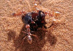 [가상인터뷰] 세상에서 가장 빠른 개미, 사하라 은색 개미
