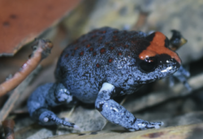 소나기가 내리면 목숨을 걸고 튀어라! 호주 개구리 탐사기
